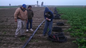Fresno State Staff and Students installing drip tape in the tomatoes field.